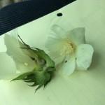 Bollworm surviving in BT cotton